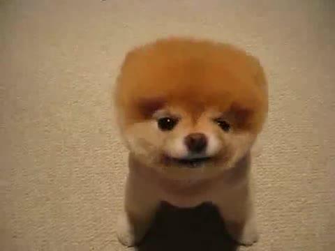Cute puffy puppy.. .. SO GOD DAMN FLUFFEH