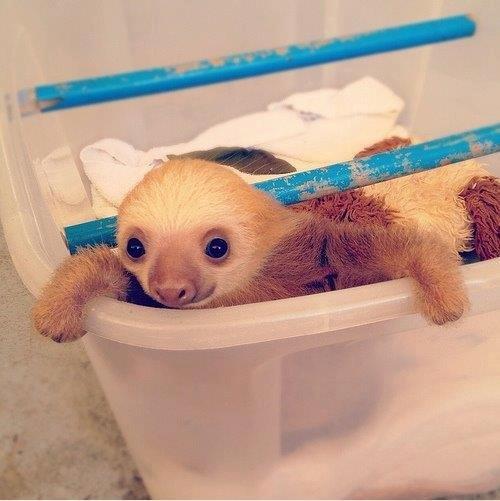 baby sloth. d'aweeee. baby sloth d'aweeee
