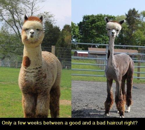 Bad haircut?. Spare a thumb.... a green one at least... . Llama troll hair