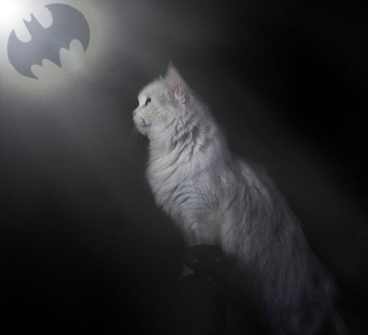 Bat Cat. . cat batman bat symbol lol funny