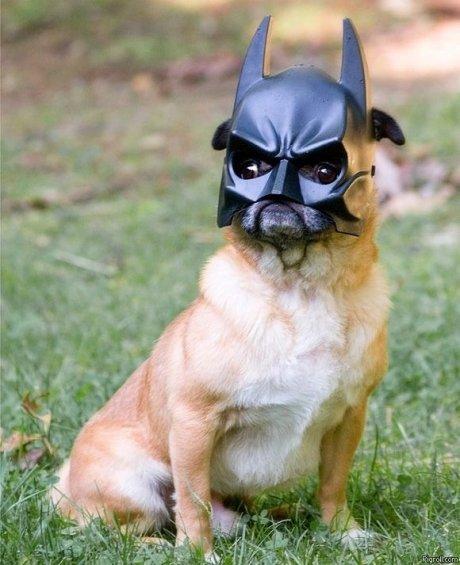 Batpug. da na na na na na na na. bat Pug batman