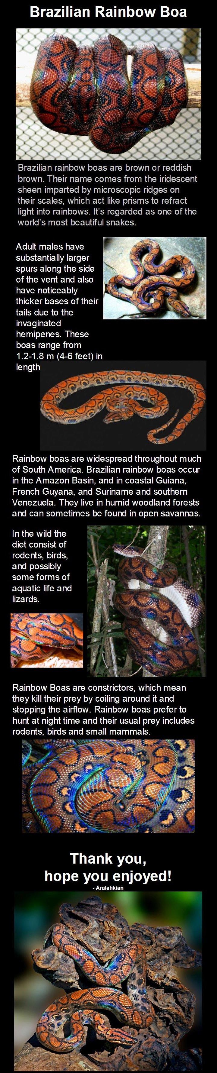 Rainbow Boa. Black mamba: /Black+Mamba/funny-pictures/5048883/ Spiny bush viper: /Spiny+Bush+Viper/funny-pictures/5052494/ King cobra: /King+Cobra+corrected/fun Rainbow Boa Black mamba: /Black+Mamba/funny-pictures/5048883/ Spiny bush viper: /Spiny+Bush+Viper/funny-pictures/5052494/ King cobra: /King+Cobra+corrected/fun