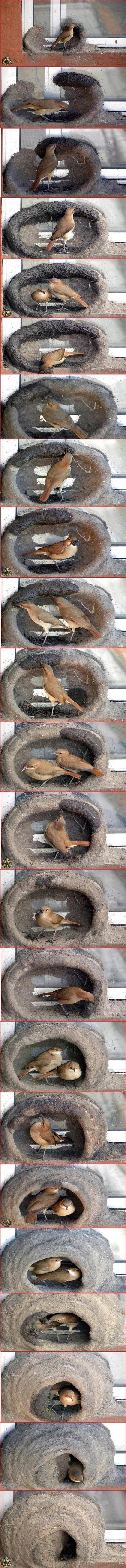 red oven birds building nest. . godhatestags