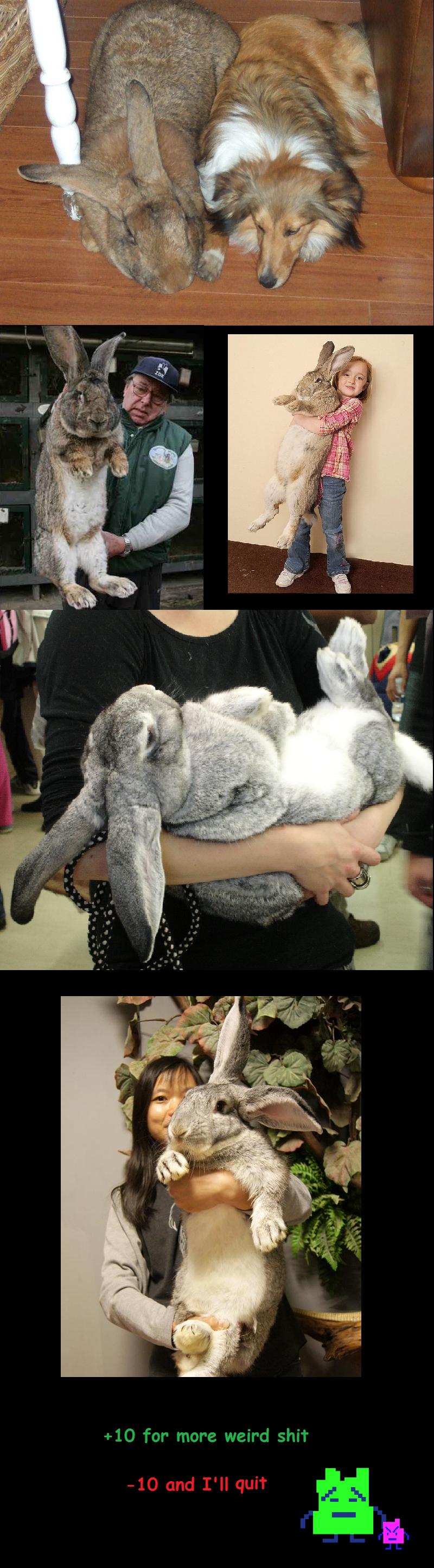 Rhosgobel Rabbits Tho.... en.wikipedia.org/wiki/Flemish_Giant.. can't outrun me! Rhosgobel Rabbits Tho en wikipedia org/wiki/Flemish_Giant can't outrun me!