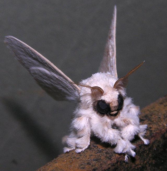 venezuelaanse poodle moth. .. That looks creepy as venezuelaanse poodle moth That looks creepy as