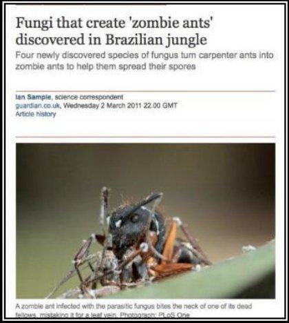 "ZOMBIE ANTS ... No... Seriously!!. Wa da faaaa. Fungi that create 'zombie ants' discovered in Brazilian jungle Frau: "" species of turn carpenter ants min murrai ZOMBIE ANTS No Seriously!! Wa da faaaa Fungi that create 'zombie ants' discovered in Brazilian jungle Frau: "" species of turn carpenter ants min murrai"