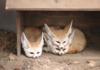 3 Little Foxy's