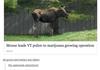 Damn Moose