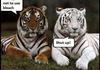 Stupid Tiger...