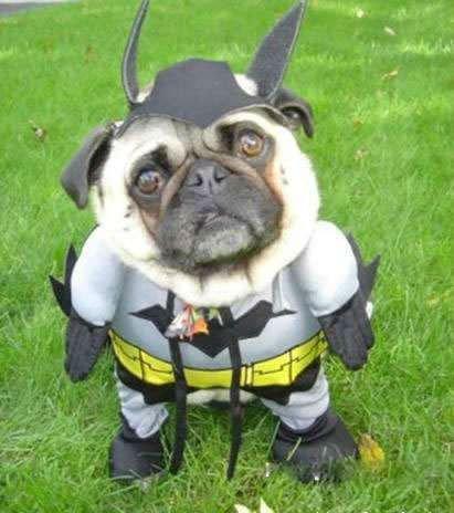 Bday Pug. The costume we bought for our pug for her bday hahaha!!! Other funny stuff by me : adfoc.us/261193290526.. Dananananananannana BAT PUG!!!!! Pug