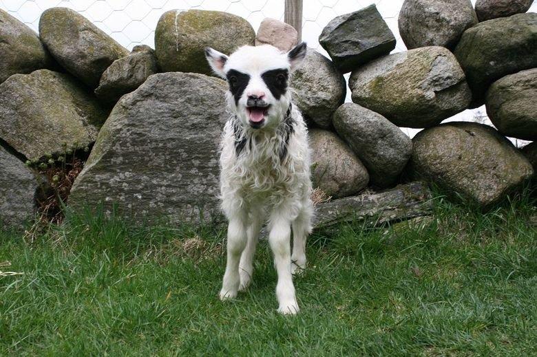 Blak metal lamb. .. His favorite band? Lamb of God Blak metal lamb His favorite band? Lamb of God