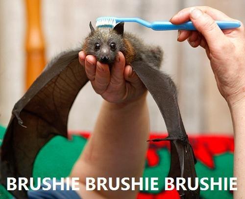 Brushie brushie brushie. BRUSHIE!. BRU -' RUSHIA Brusin. lol bat's like 'wtf's goin on here?!' funny bat brushie