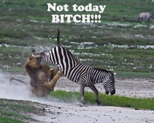 NOT TODAY BITCH!. PLEASE THUMB!<br />. <---- Zebra's face Not today bitch Zizzerman